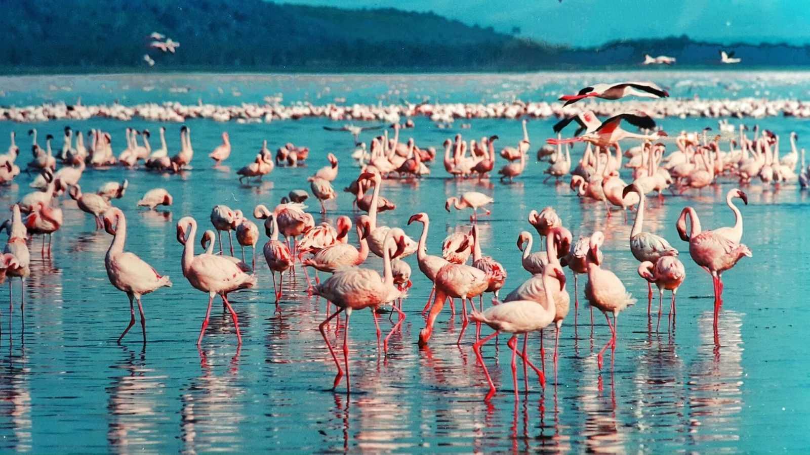 Kenya's National Parks - Lake Nakuru - pink-flamingo