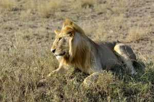 National Parks Kenya elephant lion