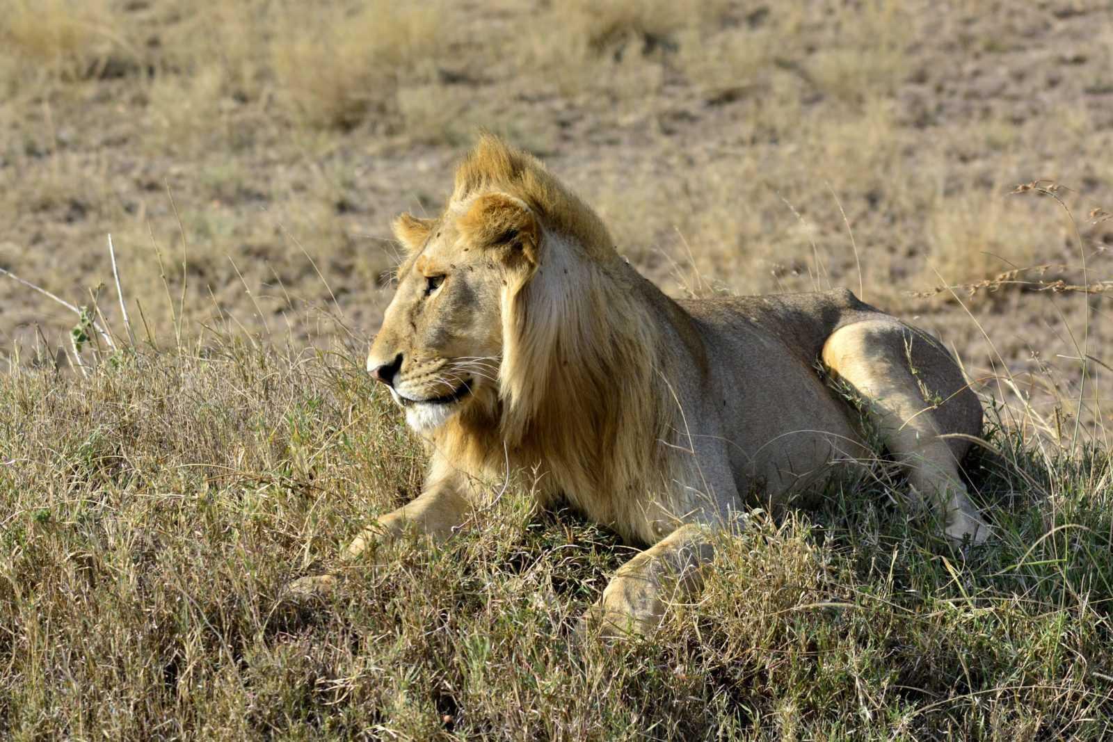 Kenya's National Parks - Amboseli - Lion