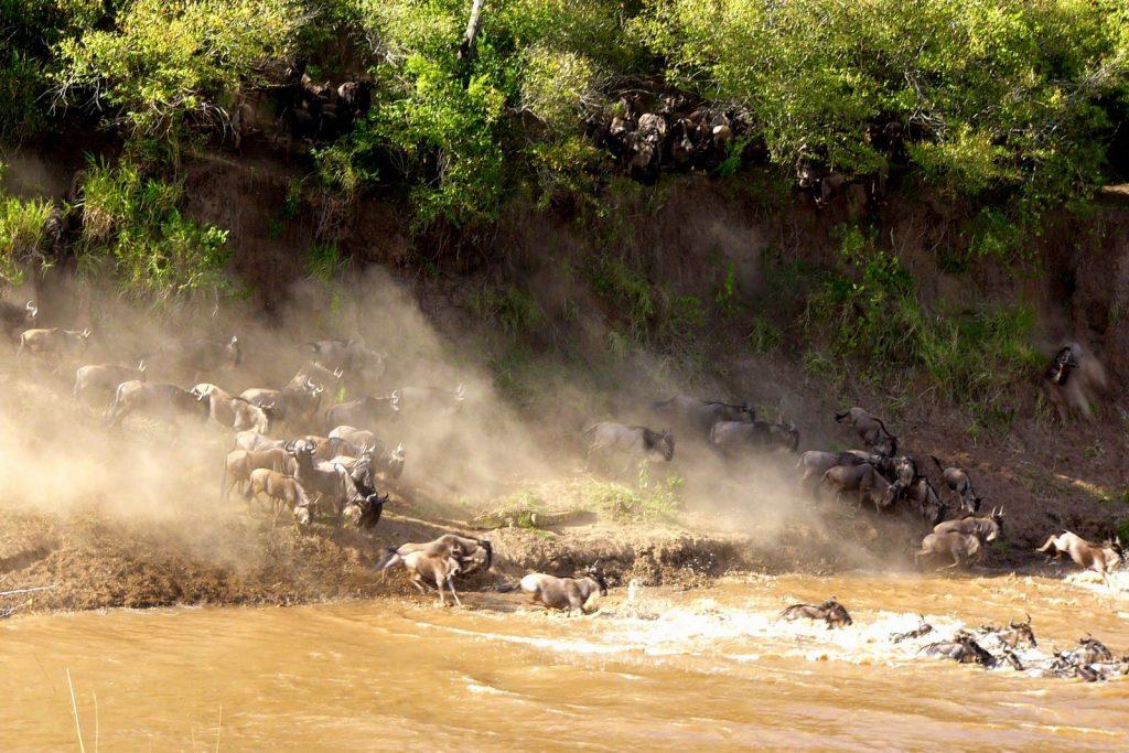 Maasai Mara Game Reserve Mara crossing wildebeest migration