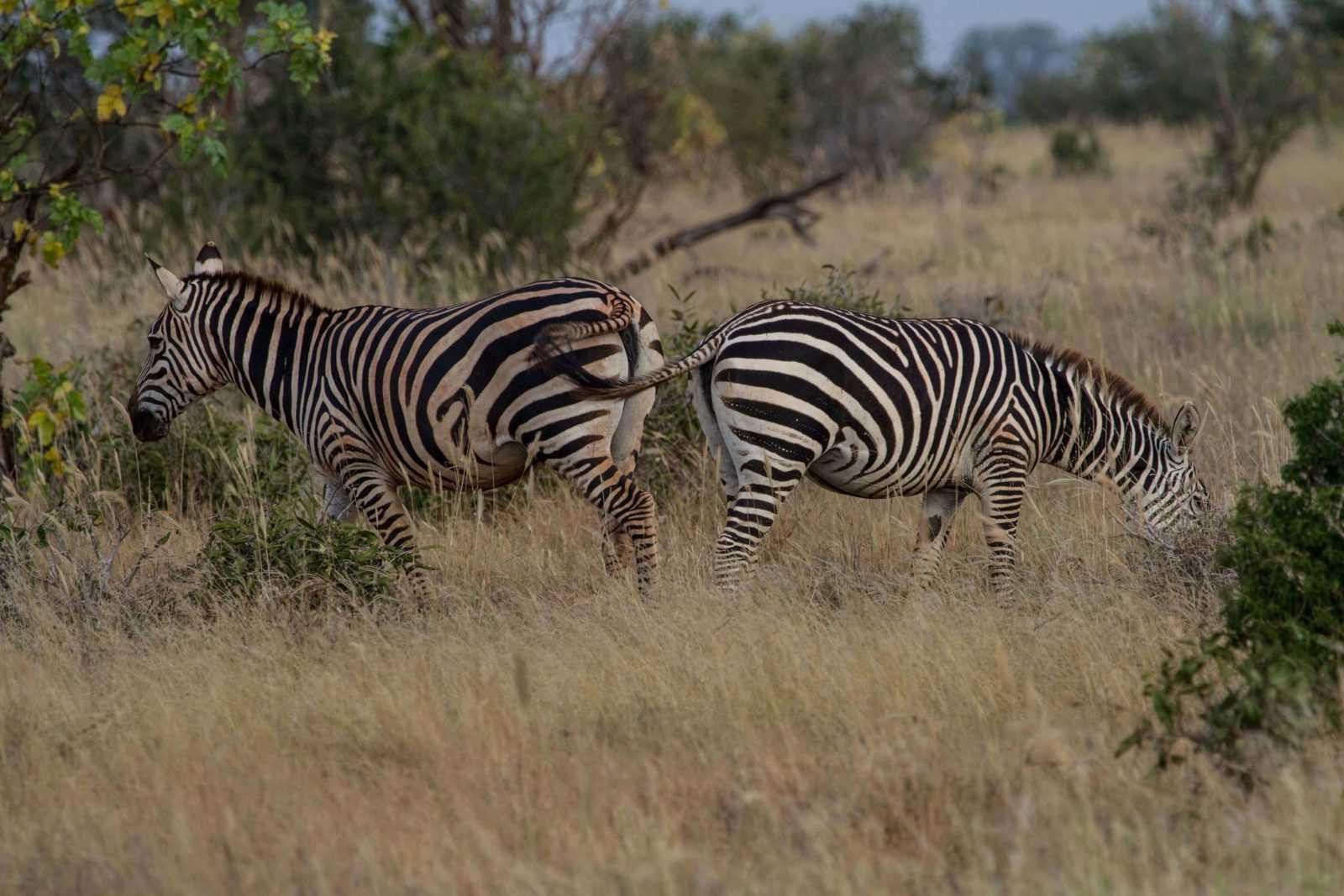 Kenya's National Parks - Tsavo- Zebra