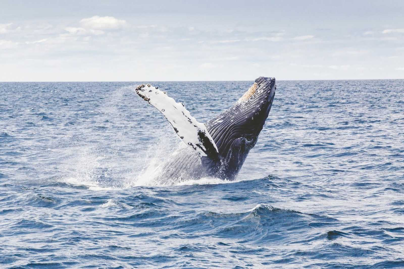 Whale Humpback Tours