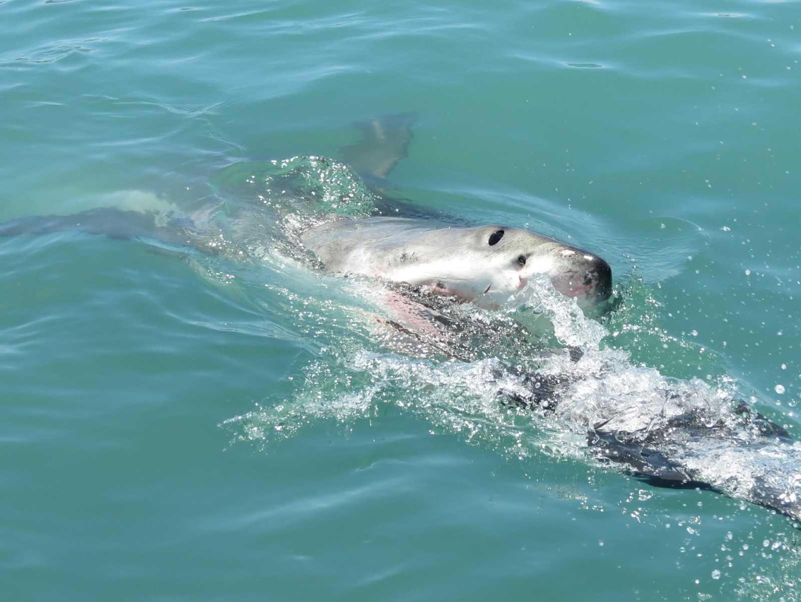 Shark Cage Diving - Great white shark