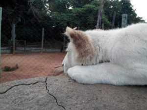Johannesburg Zoo lion