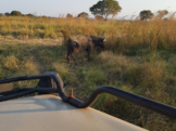 Mikumi National Park Safari Buffalo