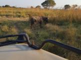 Mikumi National Park Safari Buffalo