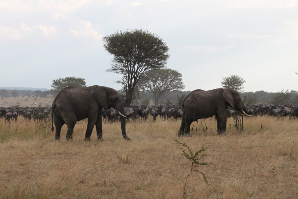 Serengeti_National_Park_Safari_Elephants