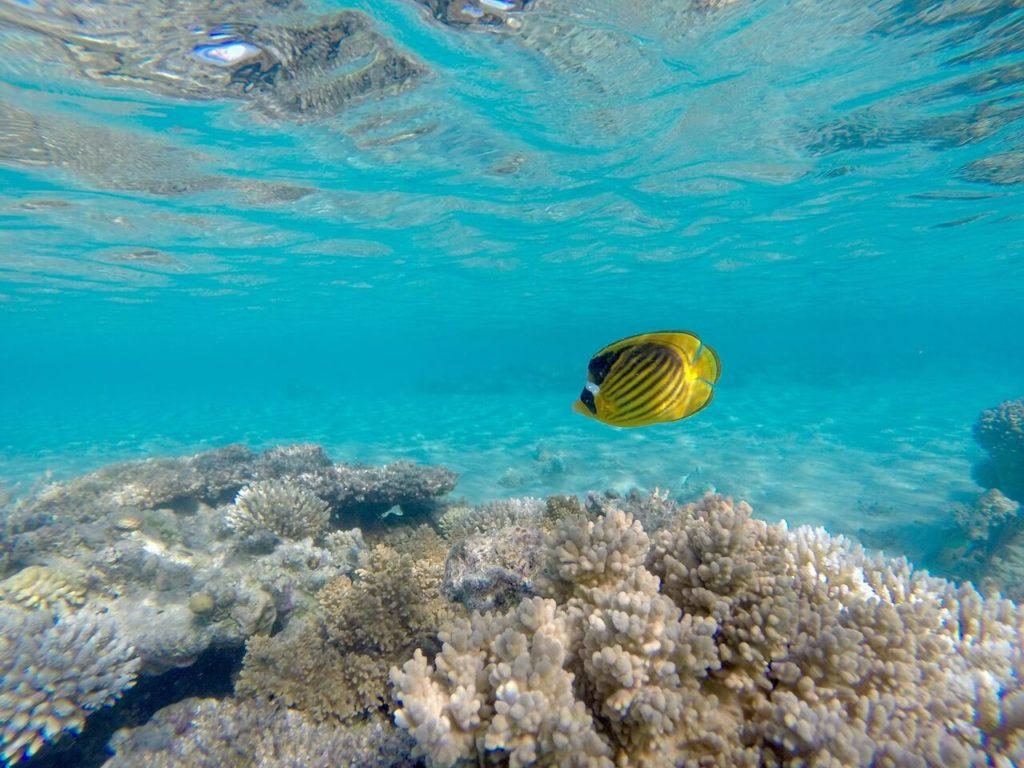 Scuba diving angelfish