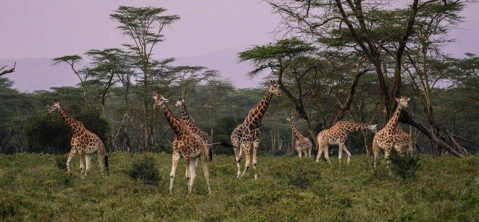 masai mara safari giraffes