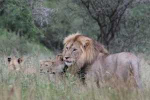 serengeti_national_park_safari_lion