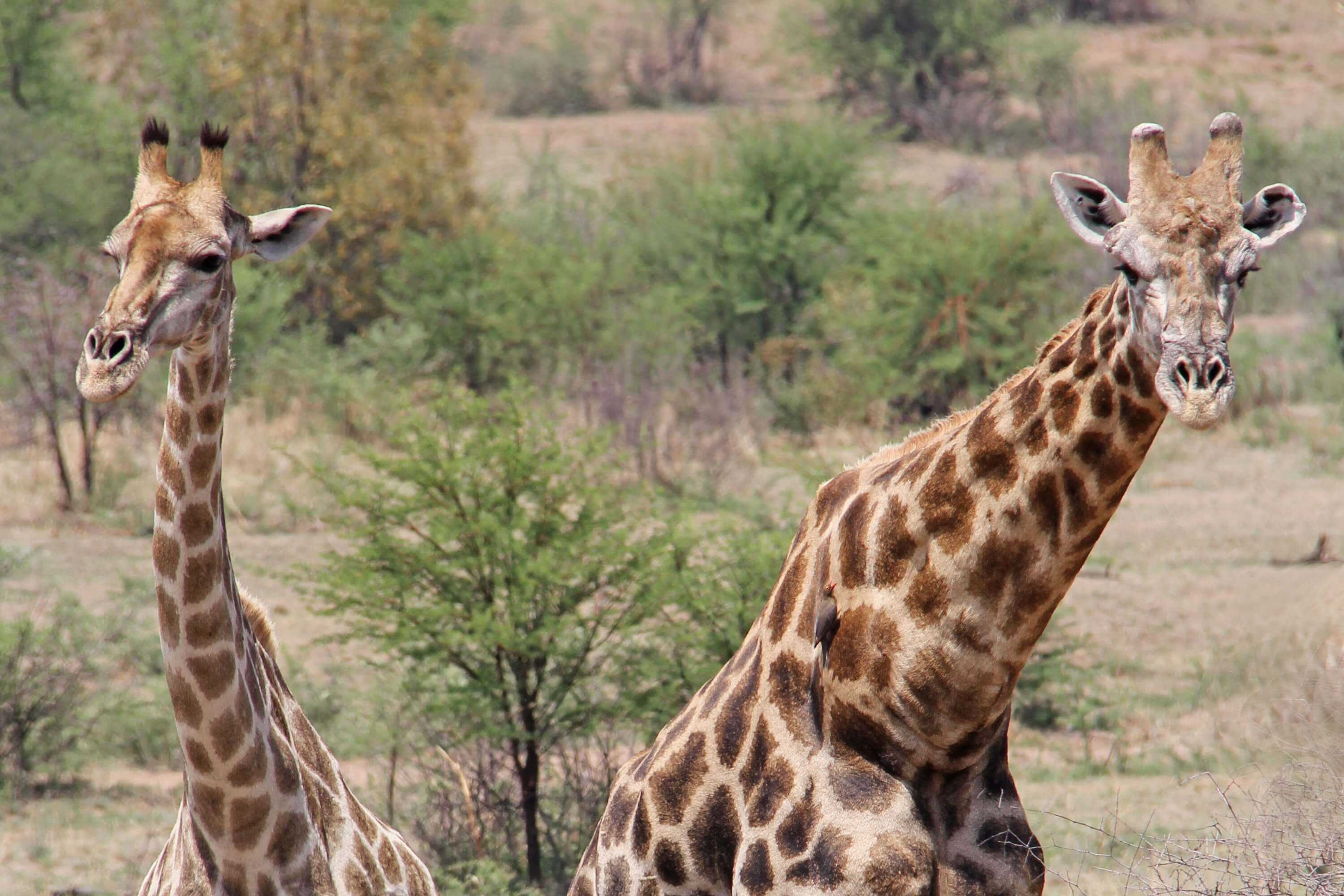 South Africa Holidays Giraffes Pilanesberg National Park