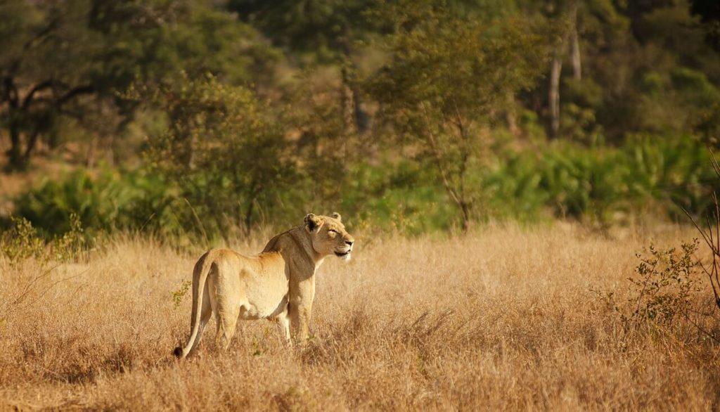 Kruger Park Safari Lion