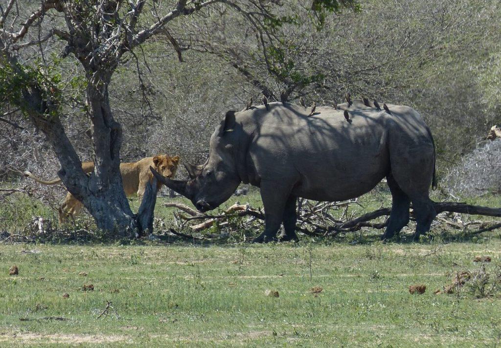Kruger Park Safari Lion Rhino