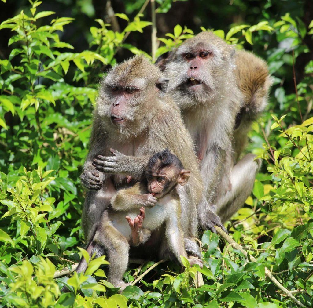 Mauritius Holidays Nature Ape