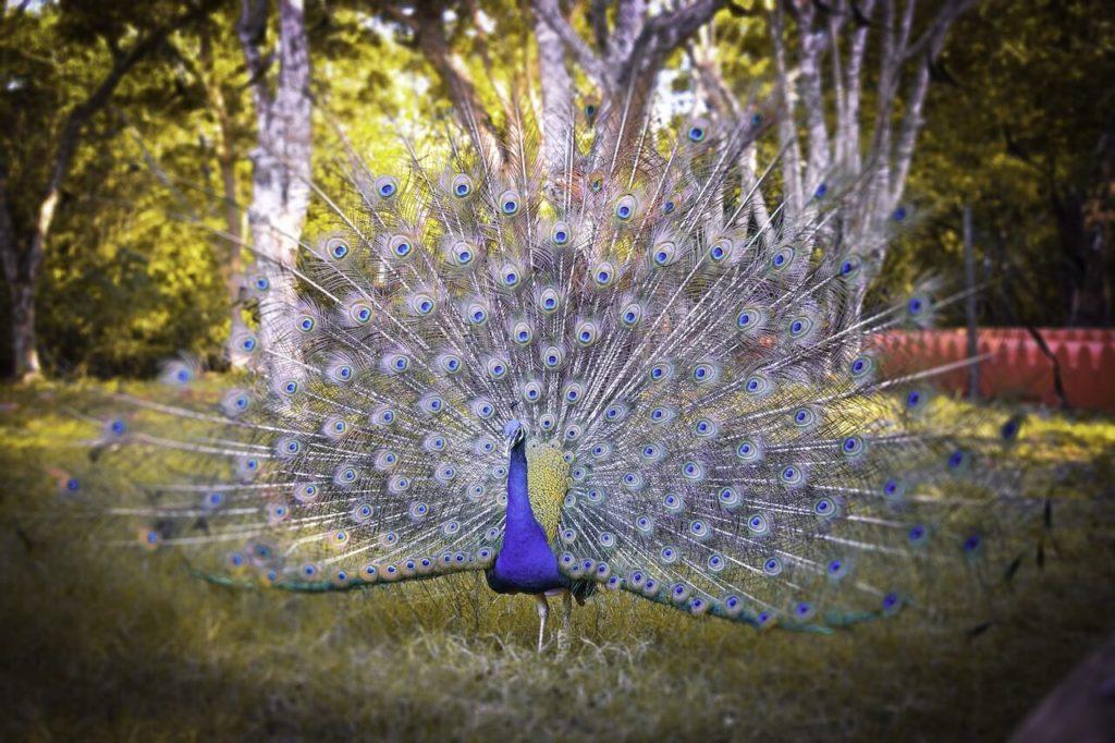 Zanzibar Honeymoon Peacock