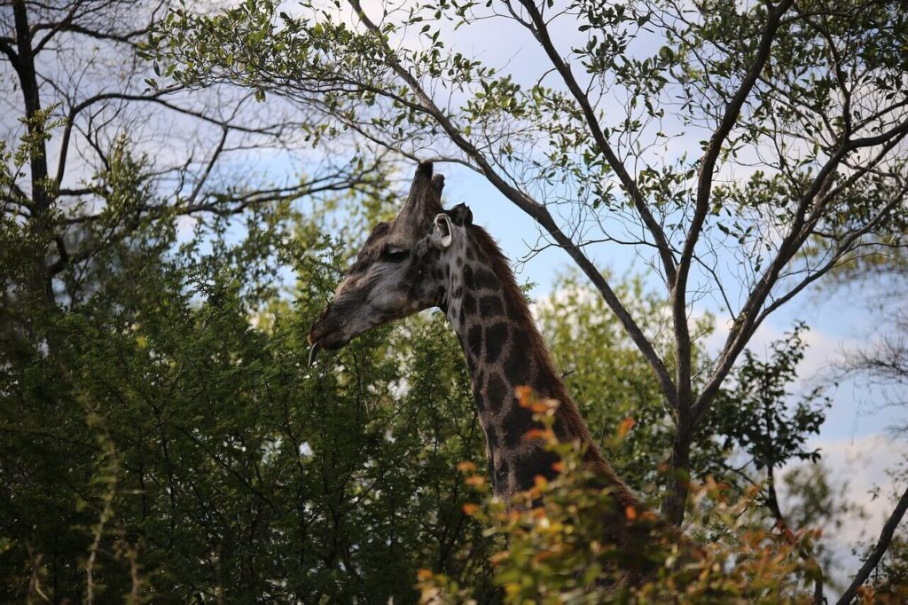 Top Things To Do in Victoria Falls Giraffe