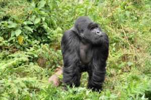 African Safari Tours Gorilla Safari Rwanda