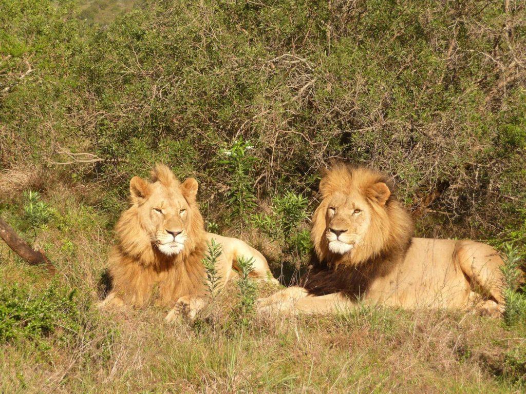 African Safari Kruger National Park Lion