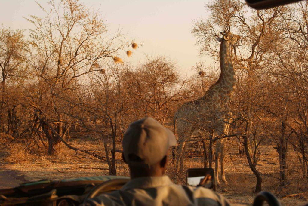 Zimbabwe Holidays Safari Giraffe