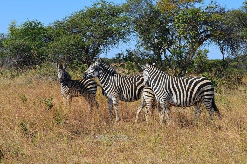 Nature Zebra