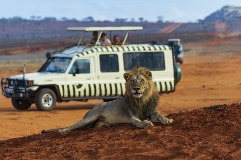 Amboseli National Park Lion