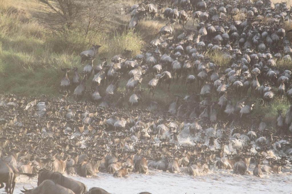 Herds Migration Tanzania