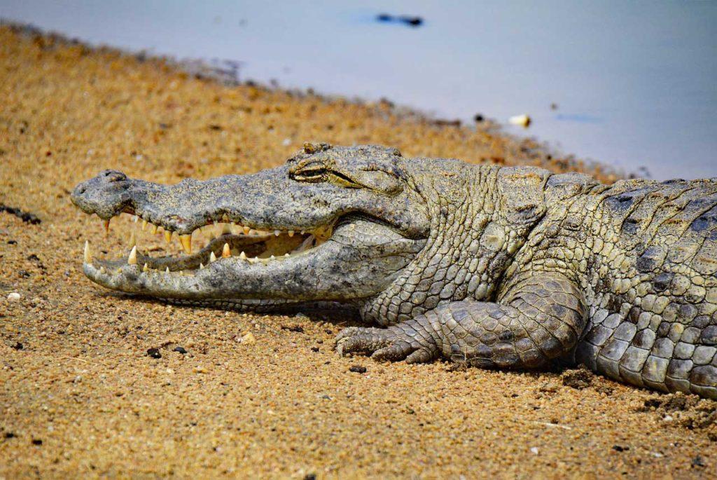 Ghana Travel Mole National Park Safari Crocodile