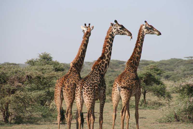 Mobile Safari Giraffe