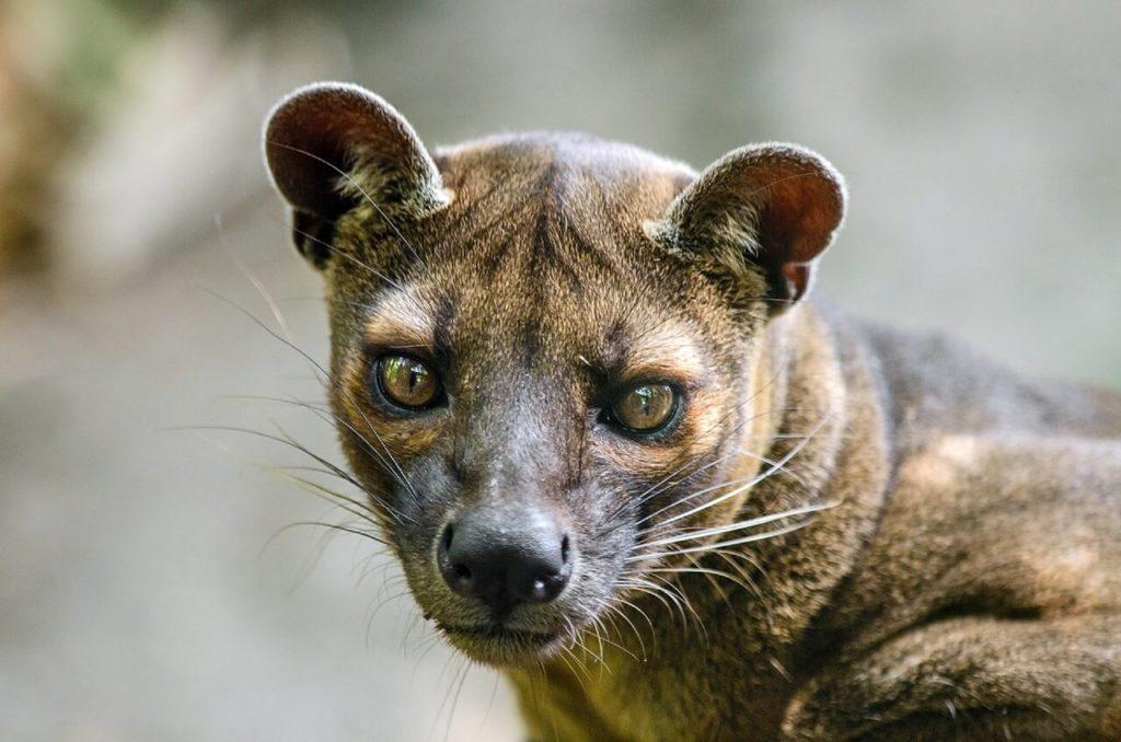 Madagascar Holidays and Travel Guide  Fossa