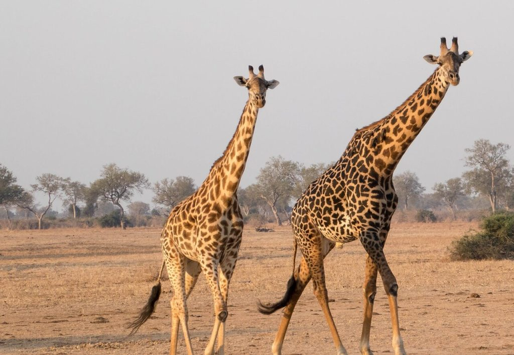 Zambia Safari - National Parks - Giraffe
