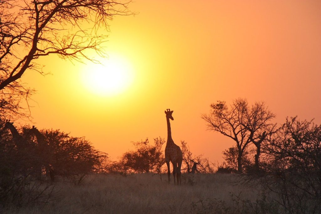 Zambia Safari & Holidays Giraffe Sunset