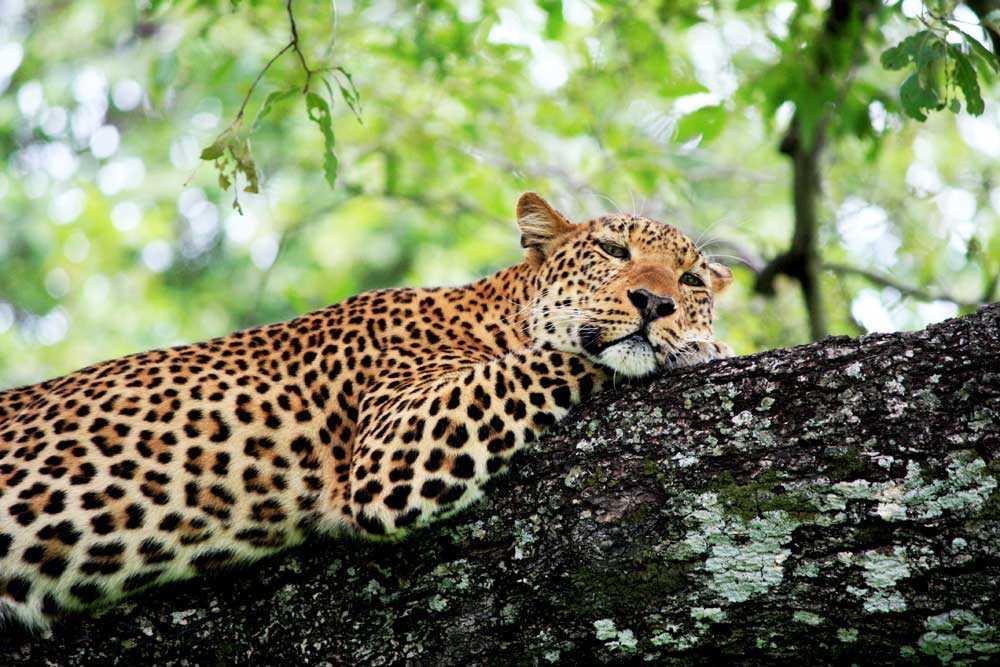 Leopard- Zambia Safari & Holidays