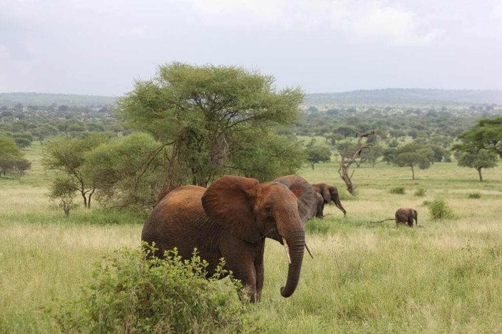 Budget Safari Tanzania Elephants