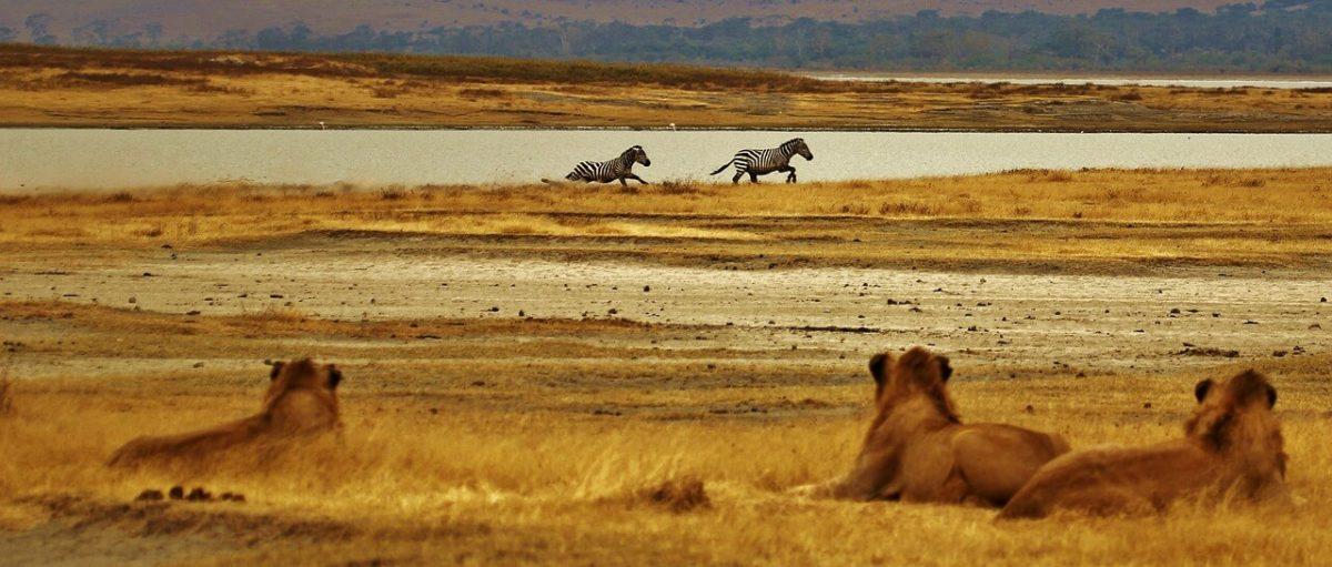 Lion - Planning a Budget Safari in Tanzania - Budget Lodges