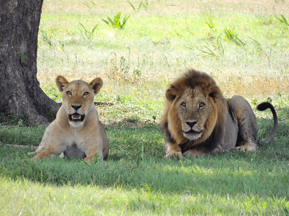 Lion - Planning a luxury safari in Tanzania