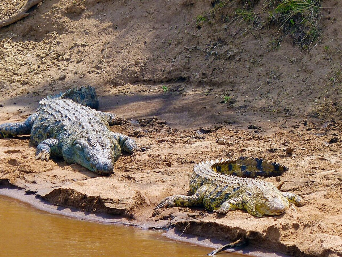 Crocodile - Budget Safari in Kenya