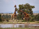 Budget Safari in Kenya Budget Safari in Kenya Giraffe