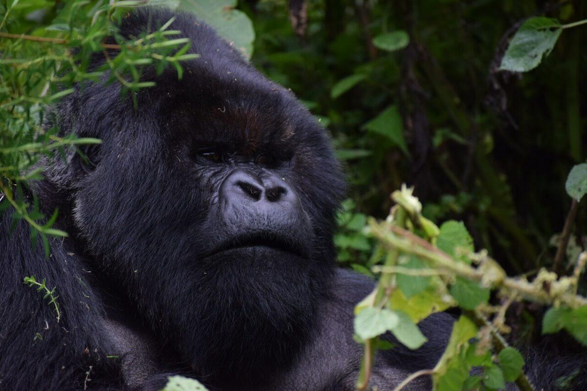 Mountain Gorillas Trekking safari in Rwanda